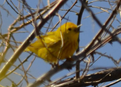 Photo of Yellow Warbler Singing on NaturalCrooksDotCom