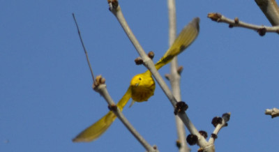 Photo of Yellow Warbler flying on NaturalCrooksDotCom
