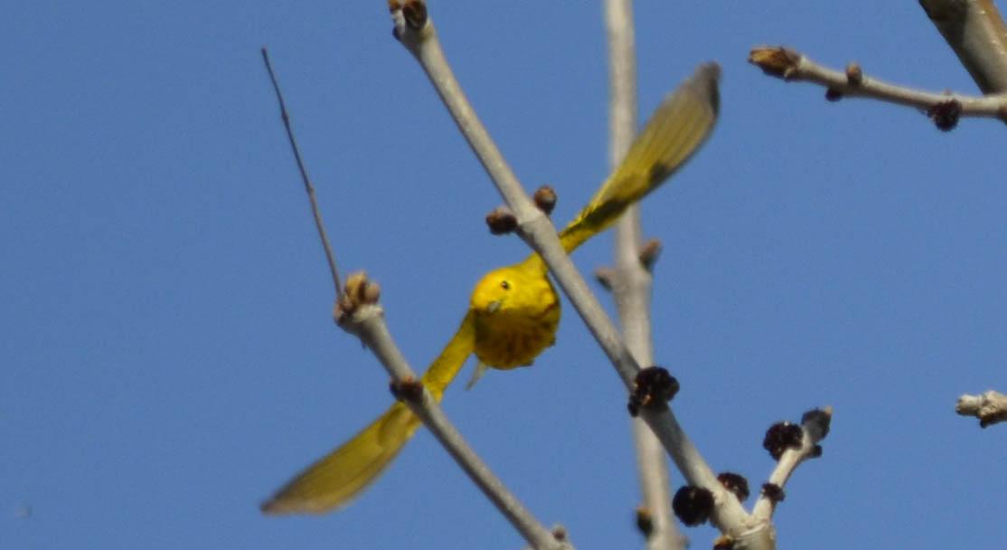 Yellow Warbler Flying Photo of Yellow