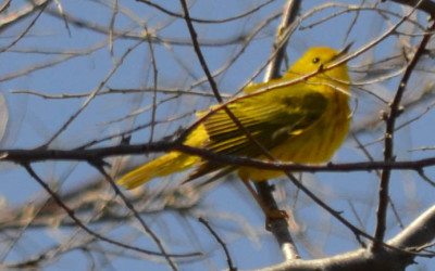 Photo of Yellow Warbler on NaturalCrooksDotCom