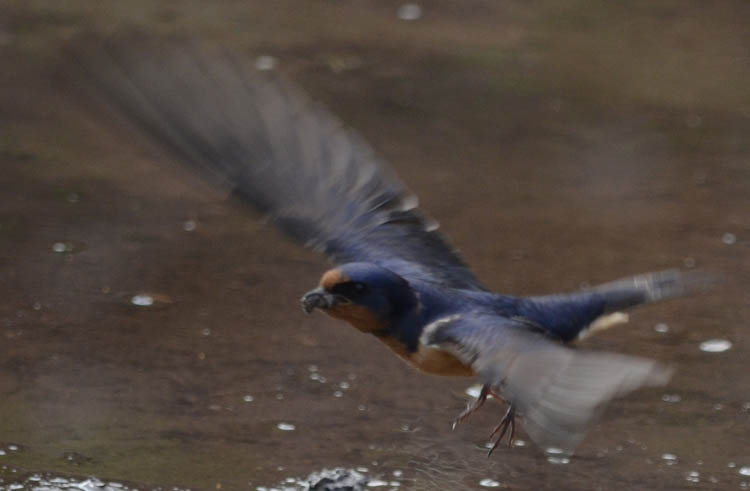 Photo of Barn Swallow in Flight on NaturalCrooksDotCom