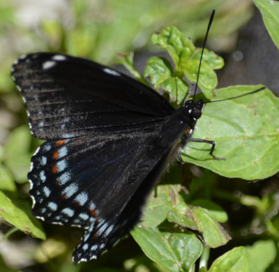 Photo of Black Butterfly on NaturalCrooksDotCom
