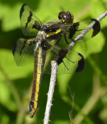 Photo of Common Whitetail Female Dragonfly on NaturalCrooksDotCom