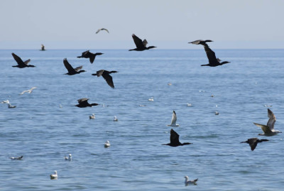 Photo of Cormorants on NaturalCrooksDotCom