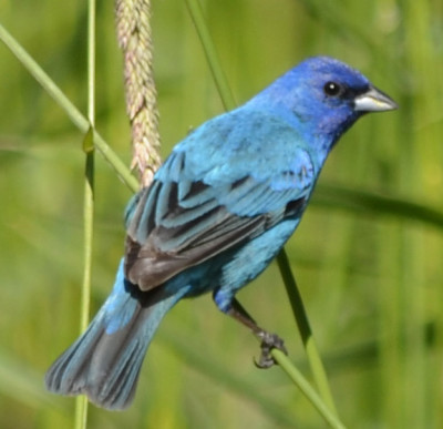 Photo of Indigo Bunting Male on NaturalCrooksDotCom