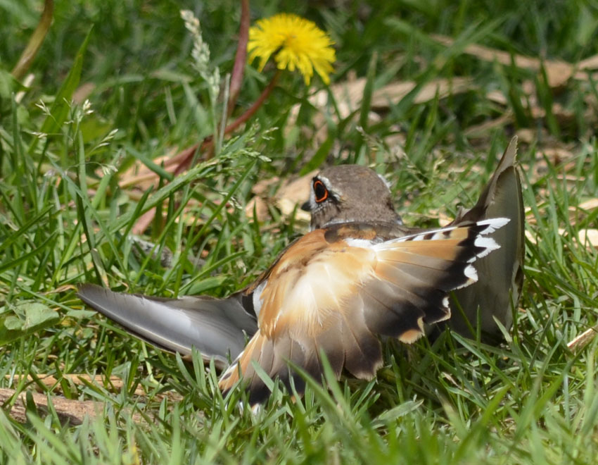Photo of Killdeer Courting on NaturalCrooksDotCom