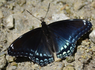 Photo of Not Red Spotted Purple Butterfly on NaturalCrooksDotCom