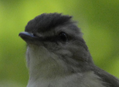 Photo of Red Eyed Vireo Bill On NaturalCrooksDotCom