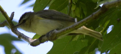 Photo of Red Eyed Vireo Maple On NaturalCrooksDotCom