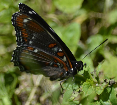 Photo of Red Spotted Purple Side View on NaturalCrooksDotCom