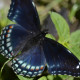 Photo of Red Spotted Purple Top View on NaturalCrooksDotCom