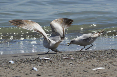 Photo of Ring Billed Gulls Food Fight On NaturalCrooksDotCom