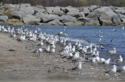 Photo of Ring Billed Gulls on NaturalCrooksDotCom