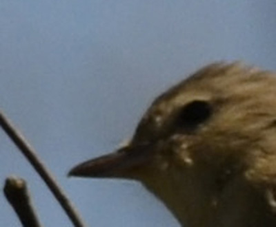 Photo of Warbling Vireo Bill 400 on NaturalCrooksDotCom