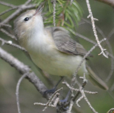 Photo of Warbling Vireo On NaturalCrooksDotCom