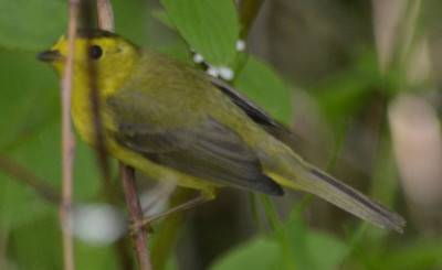 Photo of Wilsons Warbler 2 on NaturalCrooksDotCom