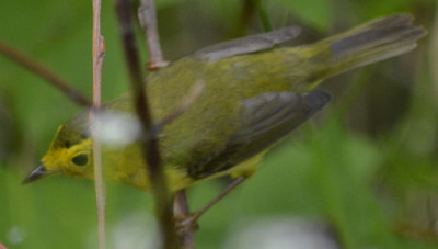 Photo of Wilsons Warbler 3 on NaturalCrooksDotCom