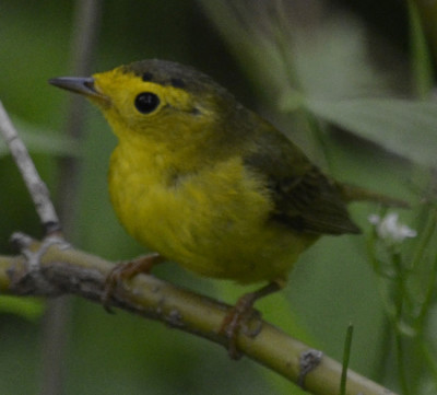 Photo of Wilsons Warbler 4 on NaturalCrooksDotCom
