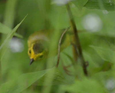 Photo of Wilsons Warbler Blurred Bush on NaturalCrooksDotCom