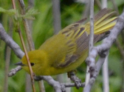 Photo of Yellow Warbler Female on NaturalCrooksDotCom