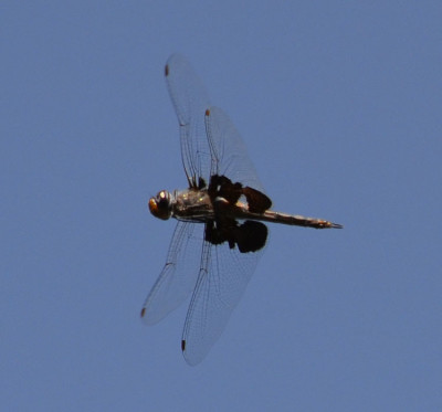 Photo of Black Saddlebags dragonfly in Flight on NaturalCrooksDotCom