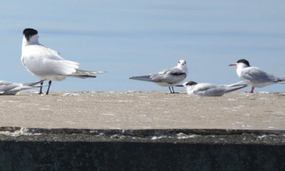 Photo of Caspian Juvenile Common Terns On NaturalCrooksDotCom