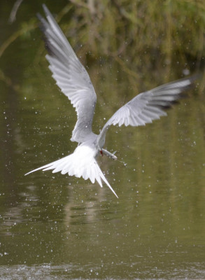 Photo of Common Tern Fishing on NaturalCrooksDotCom