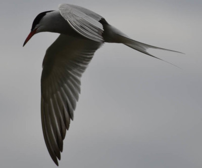 Photo of Common Tern Hunting on NaturalCrooksDotCom