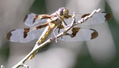 Photo of Female 12 Spotted Skimmer on NaturalCrooksDotCom