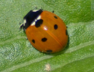 Photo of Ladybug on NaturalCrooksDotCom