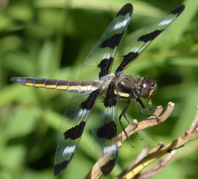 Photo of Male 12 Spotted Skimmer Dragonfly On NaturalCrooksDotCom