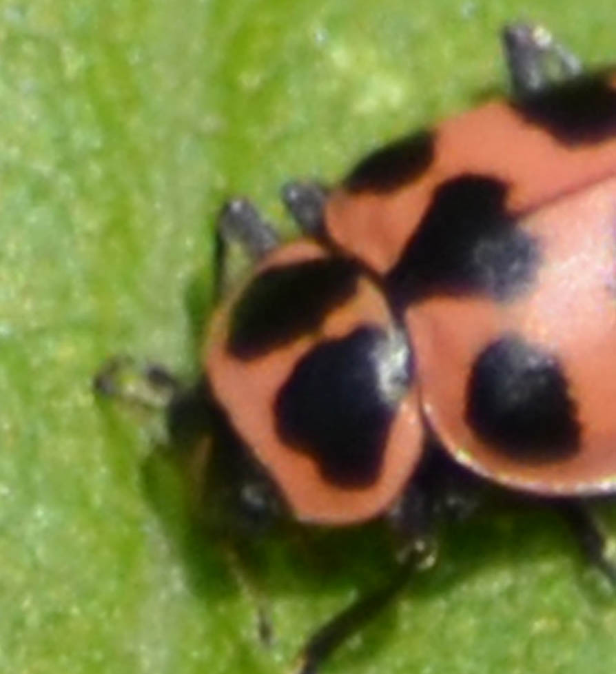 what kind of ladybug is pink oval and has large black spots on