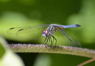 Photo of Probable Female or Immature Blue Dasher onNaturalCrooksDotCom
