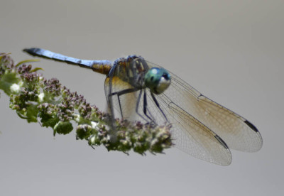 Photo of Probable Male Blue Dasher Dragonfly on NaturalCrooksDotCom
