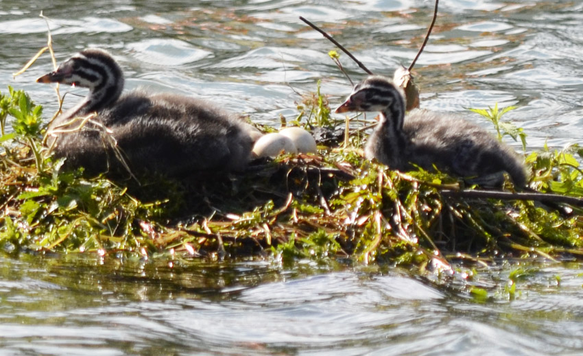 Photo of Red Necked Grebe Chicks And Eggs on NaturalCrooksDotCom