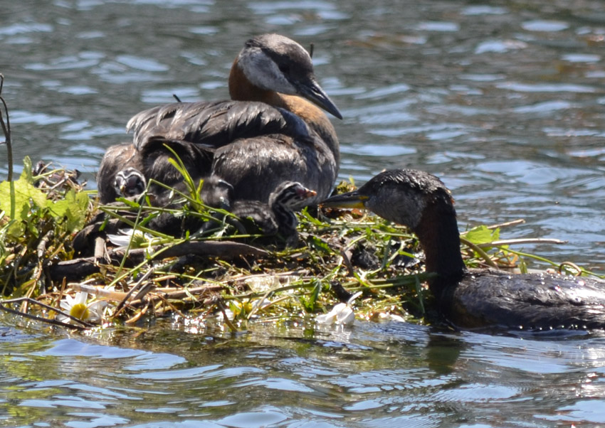 Photo of Red Necked Grebe Family On NaturalCrooksDotCom