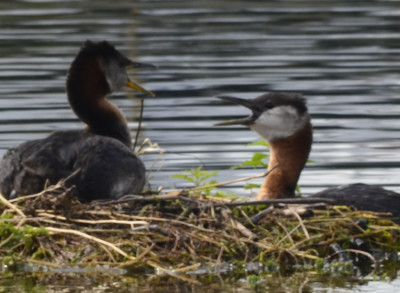 Photo of Red Necked Grebe Pair Call on NaturalCrooksDotCom
