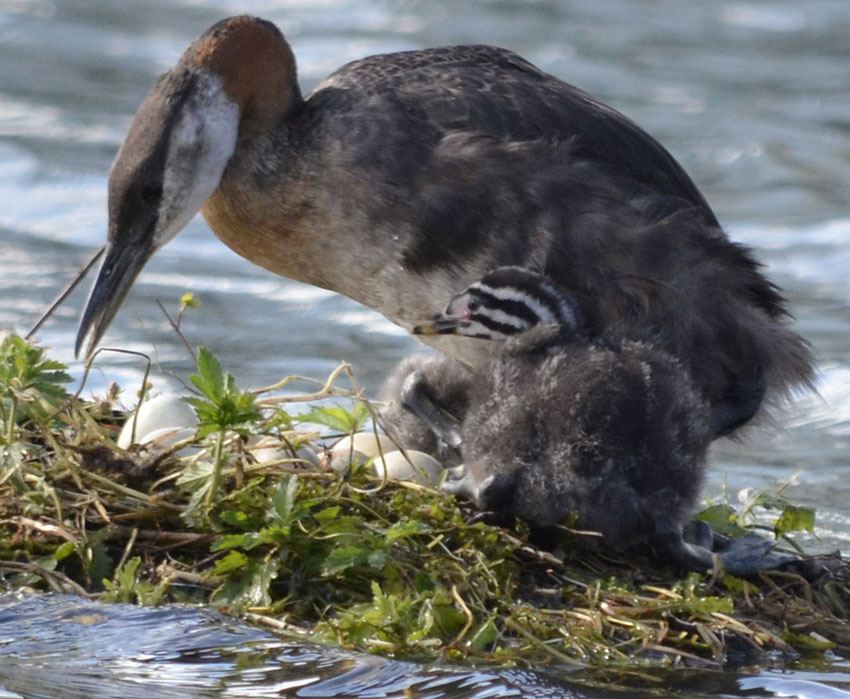 Photo of Red Necked Grebe Tending Eggs Chick on NaturalCrooksDotCom
