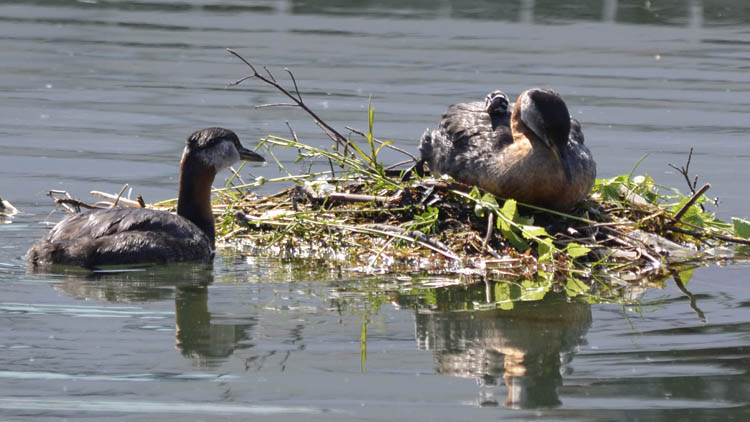 Photo of Red Necked Grebes ChickAback on NaturalCrooksDotCom
