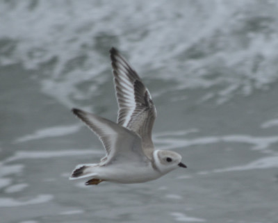 Photo of Mystery Plover In NS Flying