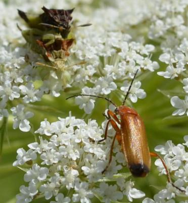 Photo of 2 Ambush Bugs Showdown With Red Soldier Beetle on NaturalCrooksDotCom