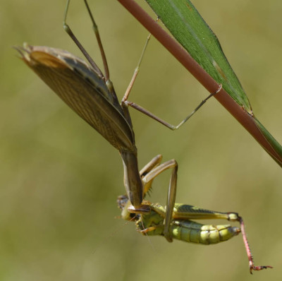 Photo of European Mantis Grasshopper Haunch on NaturalCrooksDotCom