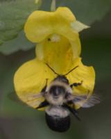 Photo of Pale Jewelweed Bee on NaturalCrooksDotCom