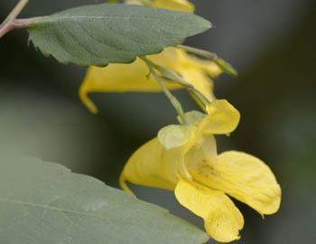 Photo of Pale Jewelweed on NaturalCrooksDotCom