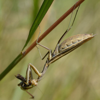 Photo of Praying Mantis on NaturalCrooksDotCom
