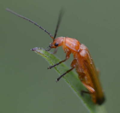 Photo of Red Soldier Beetle Perched on NaturalCrooksDotCom