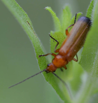 Photo of Red Soldier Beetle on NaturalCrooksDotCom