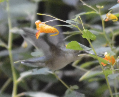 Photo 1 of Ruby Throated Hummingbird Jewelweed 1 on NaturalCrooksDotCom