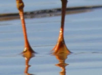 Photo of Semipalmated Plover Feet 1 on NaturalCrooksDotCom