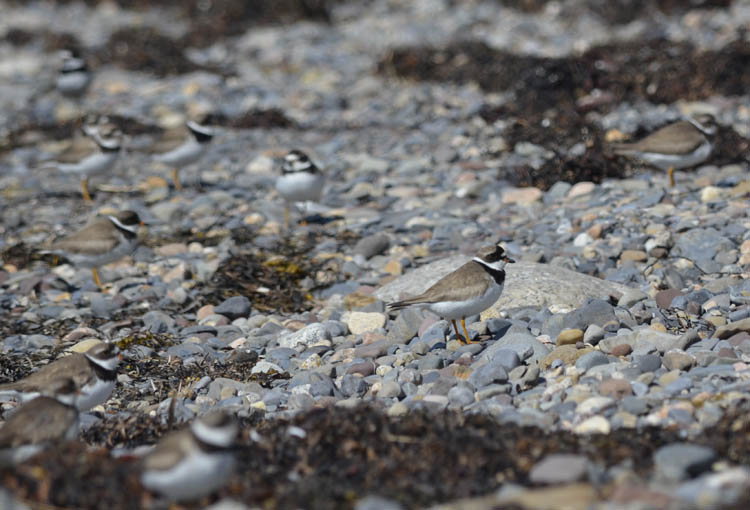 Photo of Semipalmated Plovers on NaturalCrooksDotCom